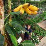 Das Gewächshaus für tropische Nutzpflanzen in Witzenhausen ist sozusagen das grüne Schaufenster der Universität Kassel. Über 12.000 BesucherInnen jährlich informieren sich hier auf anschauliche Weise über die Forschung des Fachbereichs Ökologische Agrarwissenschaften. Eine zentrale Aufgabe des Tropengewächshauses ist der Schutz und die Erhaltung der Biodiversität. Eine besondere Entdeckung gelingt Prof. Dr. Andreas Bürkert 2014: Im Wüstenland Oman findet er eine alte Bananensorte, die besonders widerstandsfähig gegen Schädlinge ist. Sie wird nun im Tropengewächshaus kultiviert und steht für die Forschung zur Verfügung.